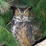 Mary, our Great Horned Owl