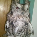 Sassafras, our Grey-phased Screech Owl