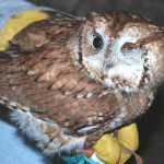 Red, the Screech Owl, one of our permanent, wild residents