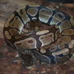 E.T., our resident Ball Python