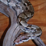Babe, our Red-tailed Boa