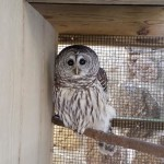 Sebastian, our Barred Owl